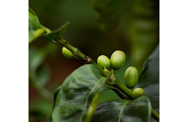 Afla Totul Despre Cafeaua Verde - Beneficii Si Contraindicatii